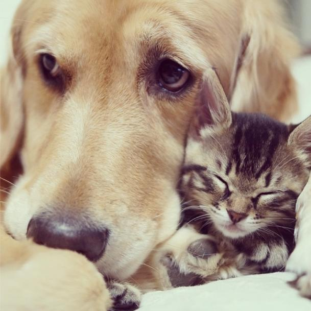 Photo by: instagram.com/shimejiwasabi Best friends Imchi (kitten) and Ponzu (Golden Retriever). Source