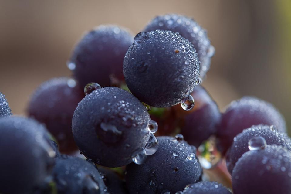 """<p>Grapes are more than a summer fruit! Throughout the fall and into the early winter, grapes are harvested in California and shipped throughout the world. Heart-healthy grapes support immune health in multiple ways. Grapes of all colors <a href=""""http://pubmed.ncbi.nlm.nih.gov/18662007/"""" class=""""link rapid-noclick-resp"""" rel=""""nofollow noopener"""" target=""""_blank"""" data-ylk=""""slk:contain more than 1,600 natural plant compounds"""">contain more than 1,600 natural plant compounds</a>, including beneficial antioxidants and other polyphenols, which have been shown to protect the health and function of our cells - a foundation for good health and well-being. Additionally, studies on individual grape compounds, including resveratrol, have shown <a href=""""http://pubmed.ncbi.nlm.nih.gov/31035454/"""" class=""""link rapid-noclick-resp"""" rel=""""nofollow noopener"""" target=""""_blank"""" data-ylk=""""slk:a positive influence on immunity"""">a positive influence on immunity</a>.</p> <p>Hydration is critical to optimizing immune response, and grapes are a hydrating food, <a href=""""https://fdc.nal.usda.gov/fdc-app.html#/food-details/786684/nutrients"""" class=""""link rapid-noclick-resp"""" rel=""""nofollow noopener"""" target=""""_blank"""" data-ylk=""""slk:containing more than 80 percent water"""">containing more than 80 percent water</a>. Enjoying a handful of grapes is a satisfying way to support your health and your sweet tooth at the same time!</p>"""