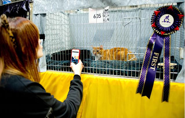 <p>Teddy, a Red and White Classic Tabby Cat participates in the GCCF Supreme Cat Show at National Exhibition Centre on October 28, 2017 in Birmingham, England. (Photo: Shirlaine Forrest/WireImage) </p>