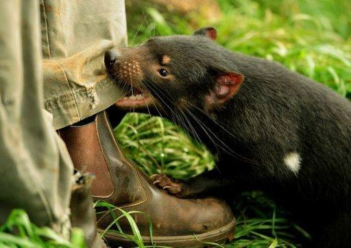A 14-month-old Tasmanian devil bites the trouser leg of keeper Adrian Good, at Devil Ark in Australia's New South Wales state. The burrowing, tree-climbing animals are in a battle for survival against an aggressive and contagious facial cancer which experts fear could see them become extinct in the wild in as little as five years