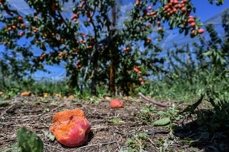 Hail-damaged apricots at an orchard in La Roche-de-Glun in southeast France on Sunday