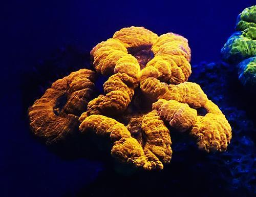 Mesophotic Brain Coral (Lobophyllia coral), which can change from green to red when exposed to violet light.