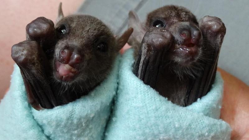Adorable Orphaned Baby Bats Named Bruce And Wayne Raised In Zoo Worker S Home