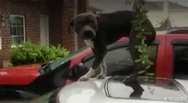 A flood survivor who left his pitbull behind when he had just minutes to evacuate rising floodwaters, has said rescuers were to blame for forcing him to abandon his pet. Picture: CBSDFW