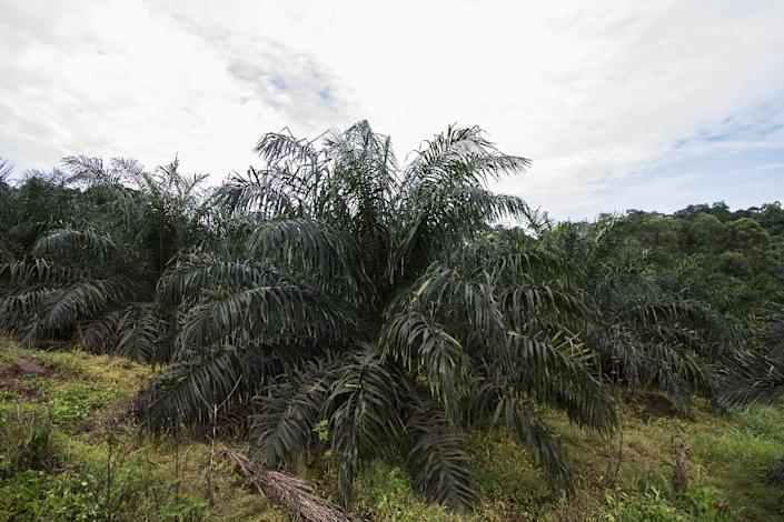 With financing coming from American, European and Asian agri-businesses, palm bunches in Gabon, Cameroon and the Congo Basin are cultivated then cut from trees and sent to factories where oil is extracted by hot pressing (AFP Photo/Isaac Kasamani)