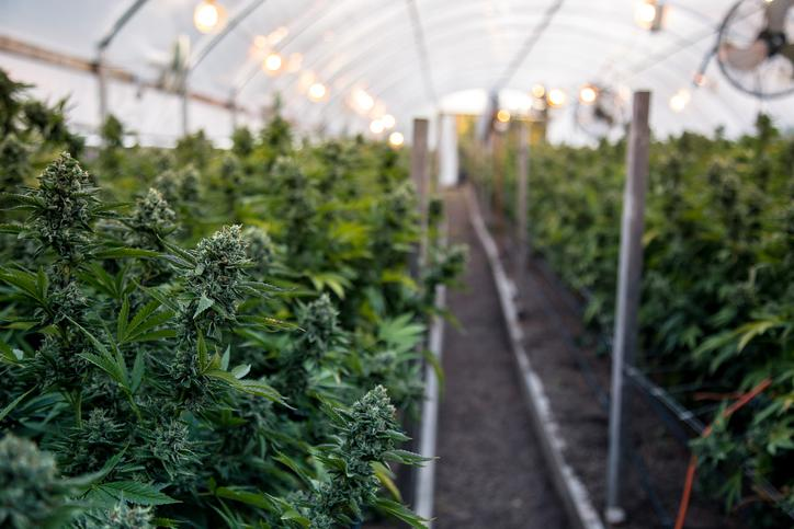 Rows of cannabis growing in a greenhouse