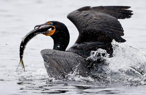 Parks Canada said the target for the density of cormorant nests on the island is 30-60 nests per hectare. (Robert F. Bukaty/Associated Press - image credit)