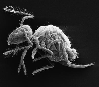 This is the new species of springtail, Pygmarrhopalites maestrazgoensis.