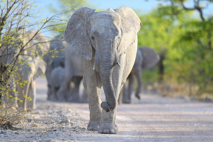 An elephant leads a herd down the road to the Goas water hole just before sunset in Etosha National Park. I got too close to this herd and had to shut down my vehicle's engine and keep still as the elephants passed. (Photo: Gordon Donovan/Yahoo News)