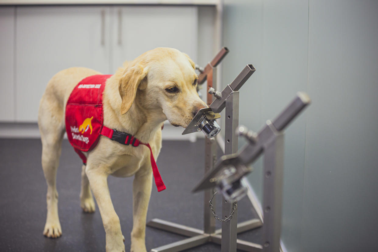 The dogs were able to detect Covid-19 in odour samples with up to 94% accuracy