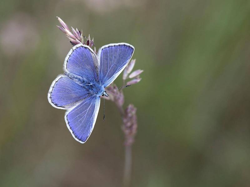 This year's weather conditions have created the right conditions for butterflies to flourish, and the common blue (pictured) is among the species expected to fare particularly well (PA)