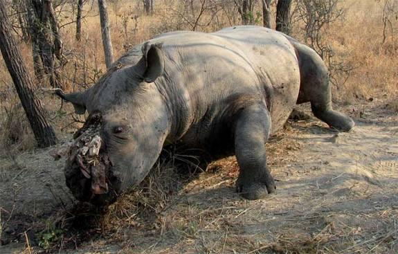 2013 Was Record Year for Rhino Poaching in South Africa