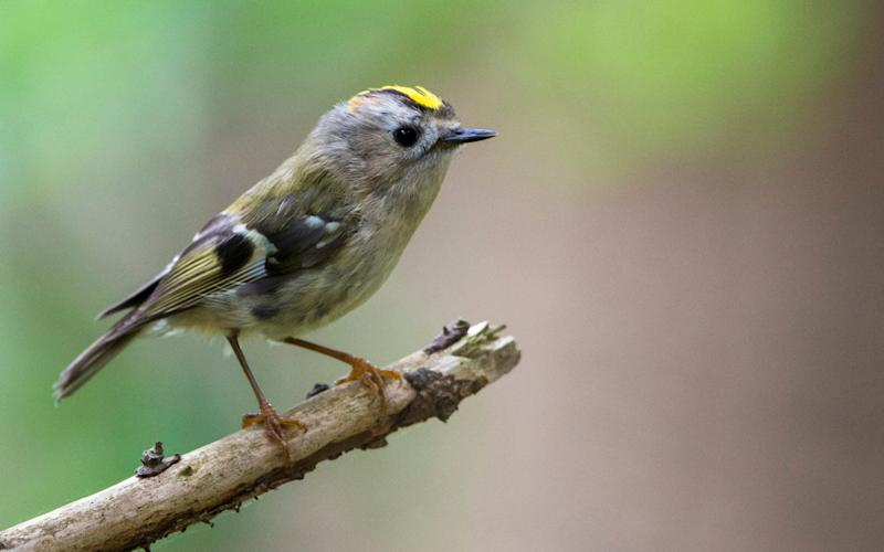 The goldcrest is thought to have done well - Getty Images Contributor