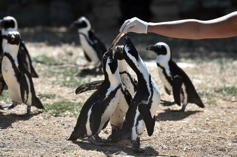 The death of 63 endangered South African penguins have been blamed on bees. — AFP pic