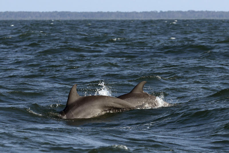 A pair of bottlenose dolphins surface off the coast off Savannah, Ga., as viewed from a vessel heading to Gray's Reef on Wednesday, Aug. 7, 2019. (AP Photo/Robert F. Bukaty)