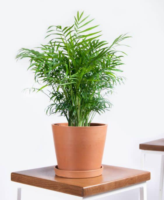 """Find this Parlor Palm with a saucer for $65 at <a href=""""https://fave.co/2AuloJX"""" rel=""""nofollow noopener"""" target=""""_blank"""" data-ylk=""""slk:Bloomscape"""" class=""""link rapid-noclick-resp"""">Bloomscape</a>."""