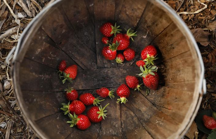 "Strawberries harvested at Rishi Kumar's farm in Pomona. <span class=""copyright"">(Christina House / Los Angeles Times)</span>"