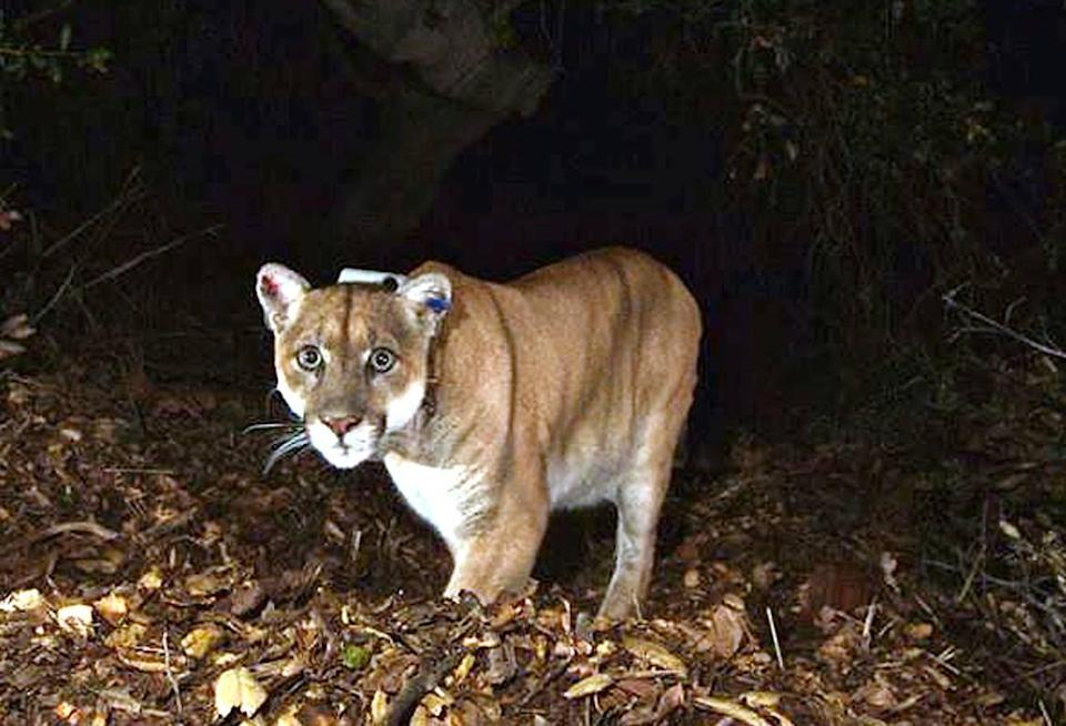 California: Mother fights mountain lion with bare hands to save her son