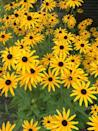 """<p>According to Binetti, these drought-resistant daisy lookalikes thrive in the Midwest. """"There's a ton of different varieties out there of it, so it's easy to find in nurseries,"""" she says of the blooms, commonly known as black-eyed Susans.</p><p><strong>Zones: 4-9</strong></p>"""