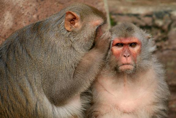 Animal behavior research suggests that animals have moral emotions. One study found that rhesus monkeys will forgo food if they had to push a lever that would electrically shock their companions to get it.