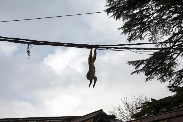 A macaque jumps from a wire on to a building roof in Dharmsala, India, Wednesday, Feb. 26, 2020. (AP Photo/Ashwini Bhatia)