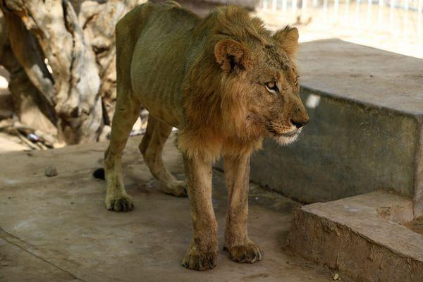 According to reports, they have barely eaten in weeks, with the zoo's owners struggling to feed them, with some losing around two-thirds of their body weight.