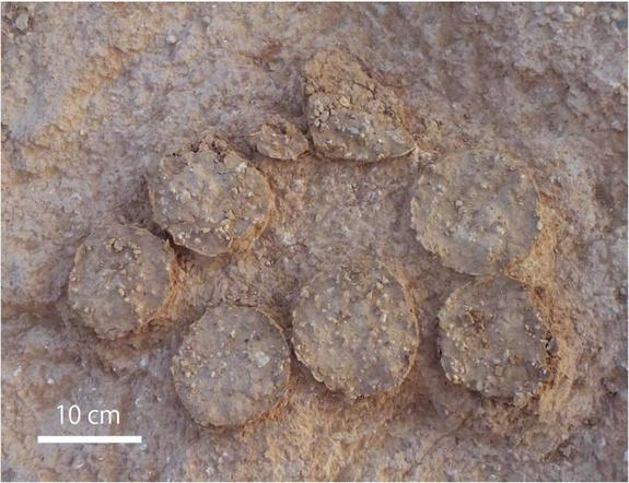 Several egg clutches, like this one, were found in the area.