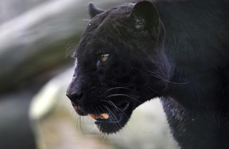 A black panther, similar to the one stolen from a zoo in northeastern France after it escaped its owner