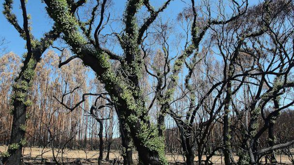 PHOTO: Signs of regrowth are seen from bush fire affected areas, Feb. 23, 2020, in Parndana, Australia. (Lisa Maree Williams/Getty Images)