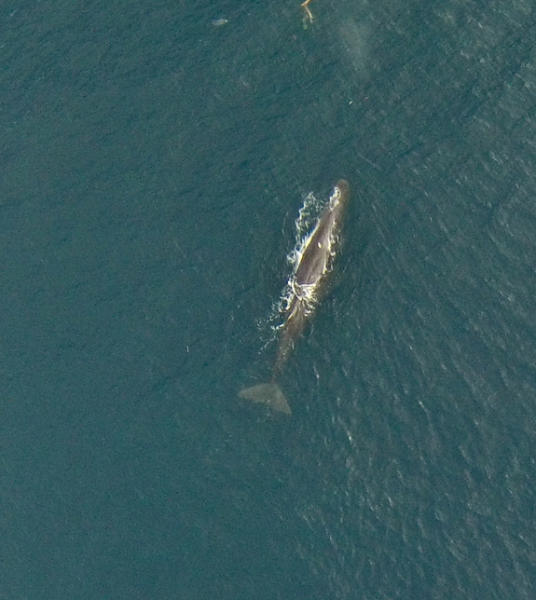 A sperm whale photographed by a NOAA hexacopter off the coast of New Zealand.