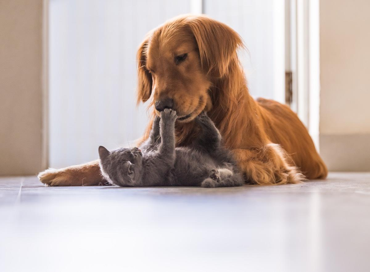 In a study of the brains of animals in the Carnivora order, the animal with the most neurons, was the golden retriever.