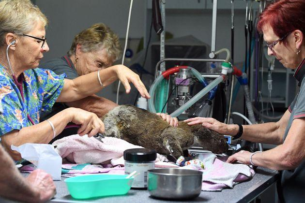 Vets work on a dehydrated and injured koala at the Port Macquarie Koala Hospital after its rescue from the fires