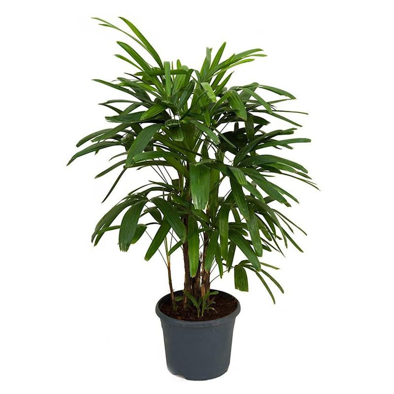 "22"" Lady Palm Plant in Pot (Credit: Etsy)"