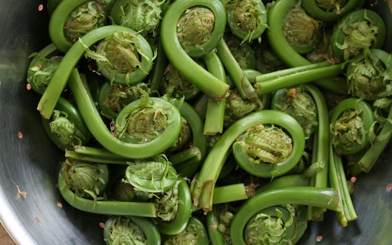 Edible fiddleheads - www.alamy.com