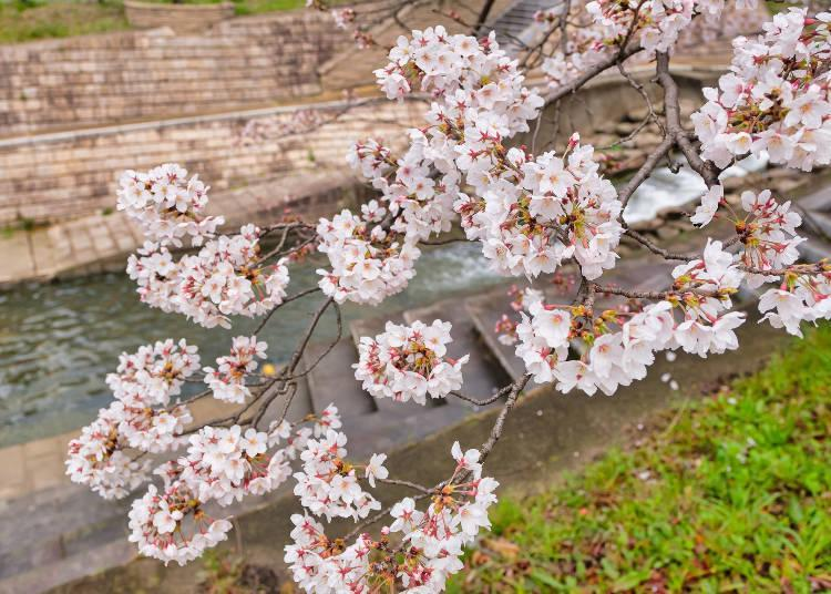The row of cherry blossom trees carefully tended by local residents is worth a visit