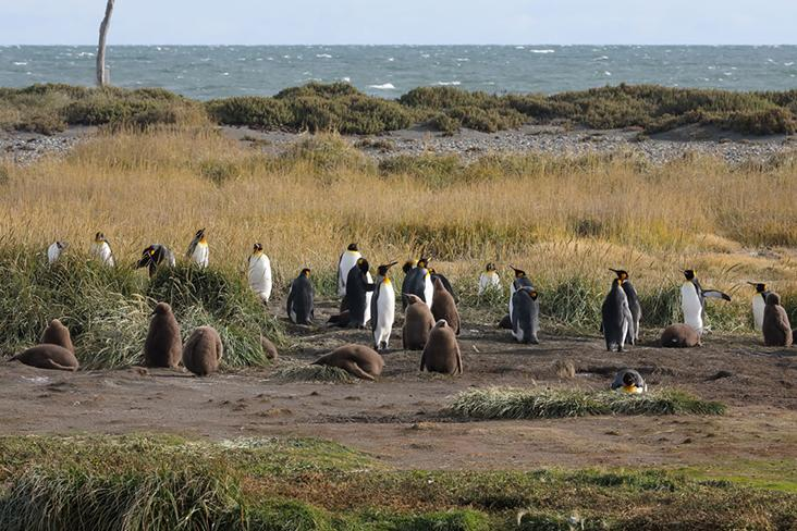 Juveniles, distinguishable thanks to their brown plumage, amongst the adult king penguins.