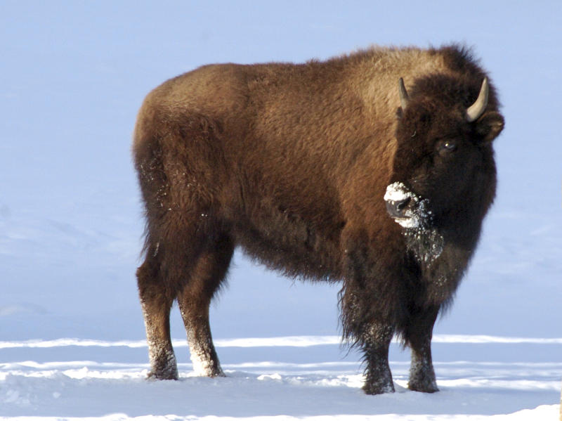 This photo taken in Mammoth Hot Springs, Wyo., shows bison in Yellowstone National Park on Saturday, Jan. 20, 2018. A federal judge has ordered U.S. wildlife officials to reconsider a decision that blocked greater for protections the park's iconic bison herds, which make up the largest remaining population of the species in the wild but are routinely subject to slaughter when they attempt to leave the park. (AP Photo/Matt Brown)