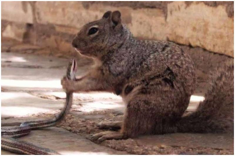Texas Rattle Squirrel: Badass Rodent Devours a Rattlesnake, Photo Goes Viral on Internet