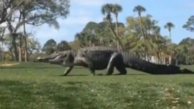 Giant alligator on golf course