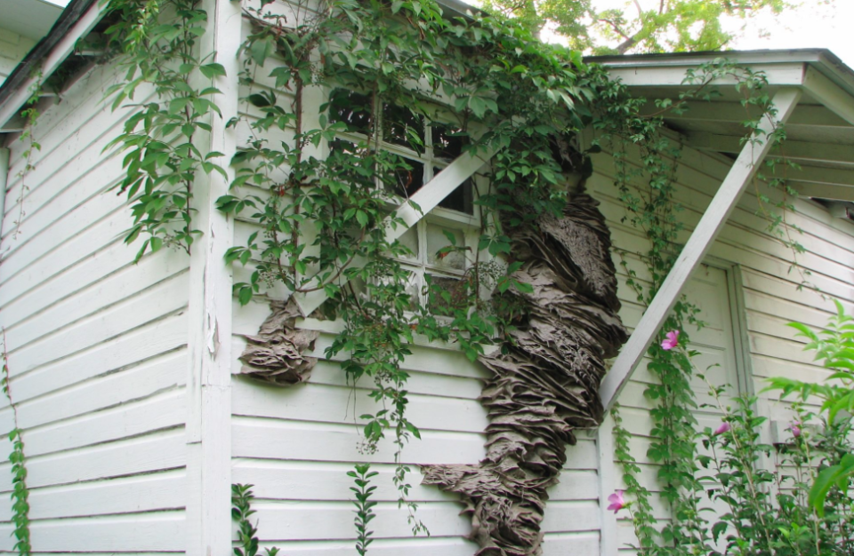 """The last time """"super"""" wasps nest were found in Alabama was in 2006 (Picture: Alabama Cooperative Extension System)"""