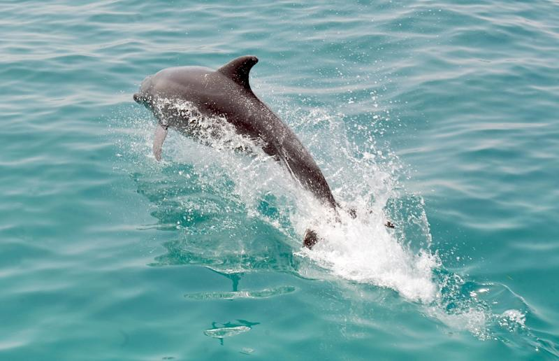 Dolphins swimming in the oil-contaminated waters of the Gulf of Mexico after the 2010 BP spill suffered unusual lung lesions and died at high rates because of petroleum pollution, US scientists said (AFP Photo/Fethi Belaid)