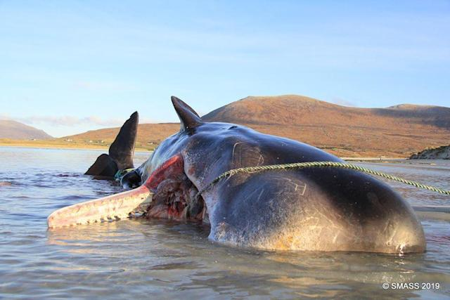 The whale was dead for 48 hours before it was discovered by the SMASS team (Photo: Scottish Marine Animal Strandings Scheme)
