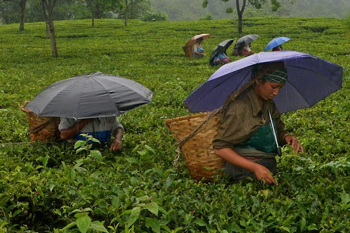 The tea plant has been historically found in China and in the northeastpart of India, such as this village in the northeast Indian state of West Bengal.