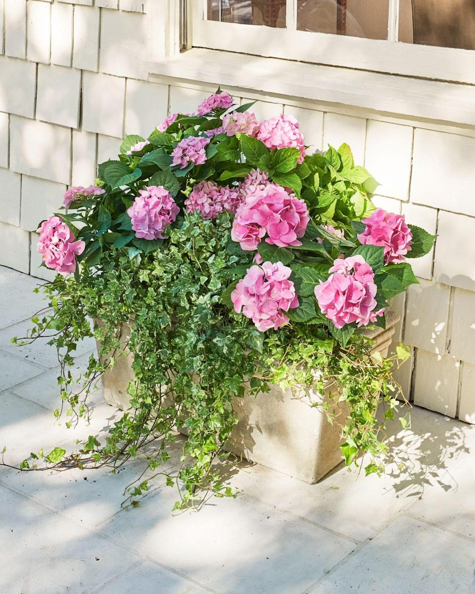 Pink French Hydrangeas in container with English Ivy