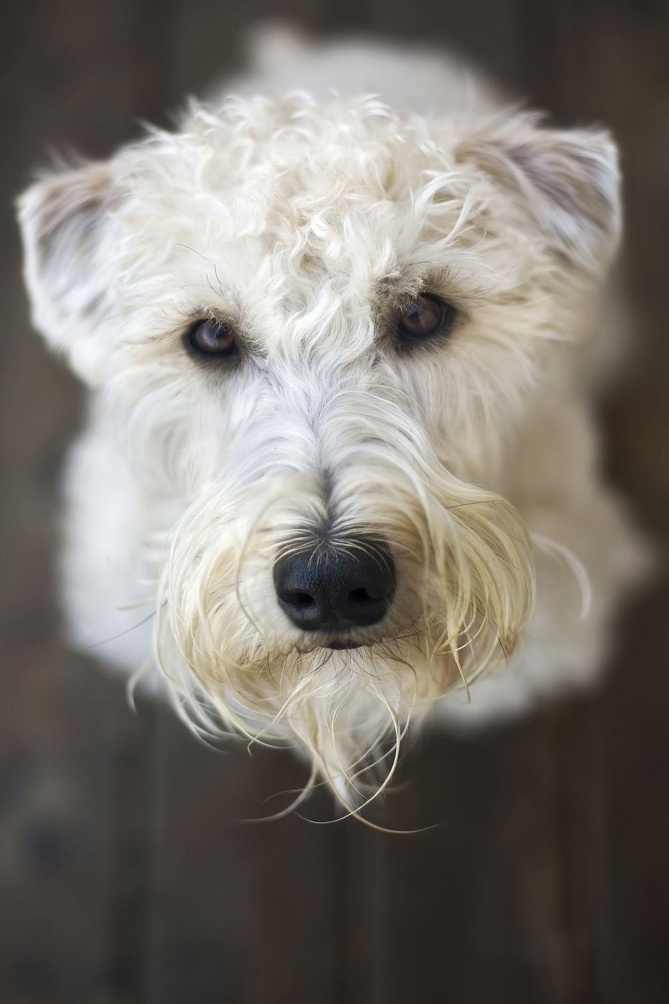 """<p>Adorable Wheaten terriers hardly need an introduction. It's all in the name: These hypoallergenic dogs grow soft coats the color of, well, wheat. The incredibly friendly <a href=""""https://www.goodhousekeeping.com/life/pets/g3414/cutest-mixed-breed-dogs/?slide=1"""" rel=""""nofollow noopener"""" target=""""_blank"""" data-ylk=""""slk:Wheatens"""" class=""""link rapid-noclick-resp"""">Wheatens</a> are so friendly that they give a signature welcome called the """"Wheaten greetin',"""" in which they jump up to meet their owners. Their unique coats don't shed much, but keep them well-groomed to avoid matting. </p>"""