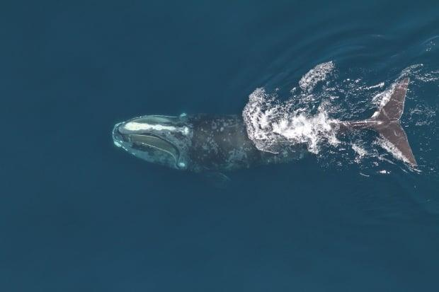 A North Atlantic right whale is seen feeding in 2014. Members of the species today are a metre shorter than their predecessors 40 years ago, according to the new research.