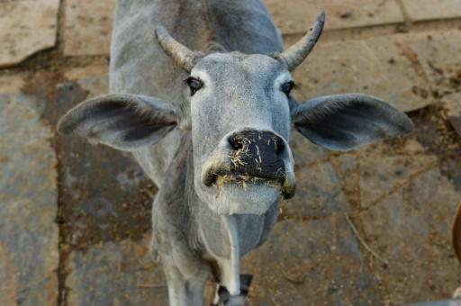 <p>Nobody moove! Cow causes chaos at Indian airport</p>