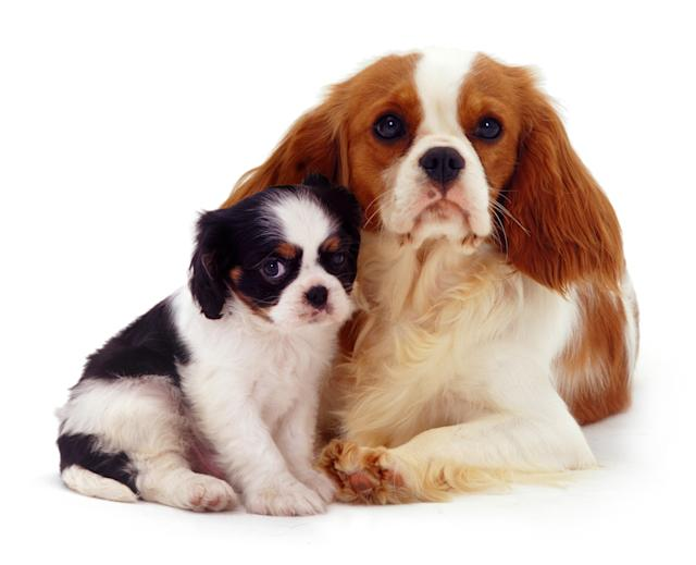 <p>Cavalier King Charles mother and pup. (Warren Photographic/Mercury Press) </p>