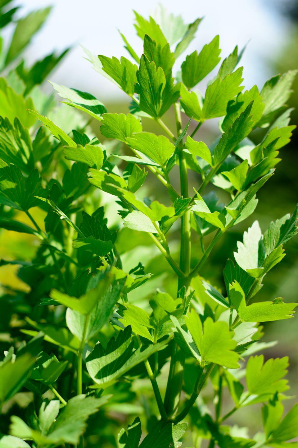 """<p>Lovage is an old-fashioned herb that's mostly overlooked even though it shouldn't be! This hardy plant's leaves have a sweet celery-like flavor. It's heat and cold tolerant and can grow up to 5-feet tall in a single season. Try it in soups or salads.</p><p><a class=""""link rapid-noclick-resp"""" href=""""https://hudsonvalleyseed.com/products/lovage"""" rel=""""nofollow noopener"""" target=""""_blank"""" data-ylk=""""slk:SHOP NOW"""">SHOP NOW</a></p>"""