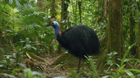 Is it a bird or is it a dinosaur? Sir David meets the colourful cassowary (BBC)